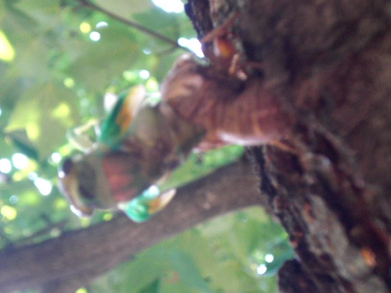 Happy-Bungalow-cicada-alt002-570