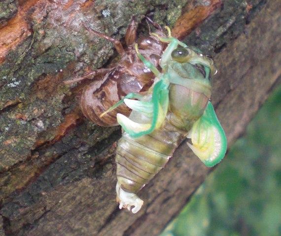 Happy-Bungalow-cicada-alt003-570