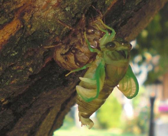 Happy-Bungalow-cicada-alt004-570