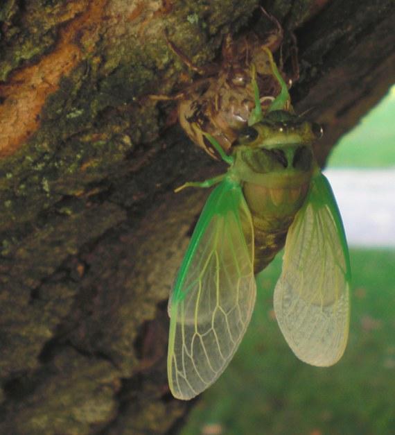 Happy-Bungalow-cicada-alt006-570